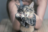 he cat is playing with the hand, bites, attacks.. Aggressive animal.