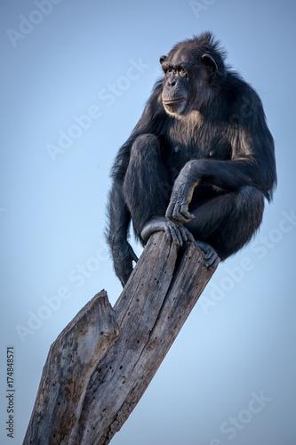 pan troglodyte sitting on top of a log