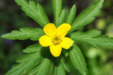Anemone flower yellow spring forest close up - 174861144