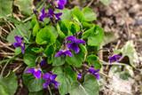 Violet viola flower purple spring forest close up - 174861321