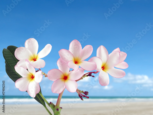 Fotobehang Plumeria close-up pink plumeria or frangipani flowers blooming with sand beach and bright blue sky background, colorful tropical flowers are fragrant and bloom in summer, beautiful nature background