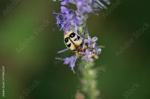 Keuken foto achterwand Lavendel Trichius fasciatus