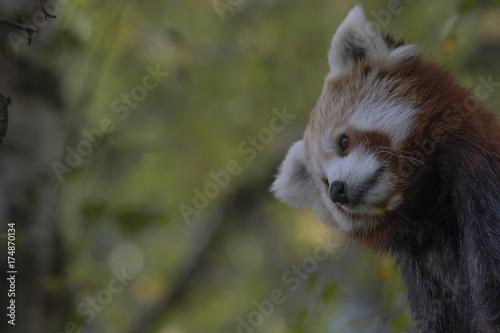 Fotobehang Panda red panda behaviour, scratching, yawning, Ailurus fulgens