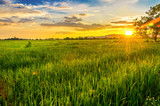 Landscape of cornfield and green field with sunset on the farm, Green cornfield and beautiful blue sky at local-city - 174870552