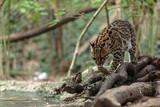 Leopardus pardalis. ocelot. gattopardo. Leopardus pardalis - 174875599