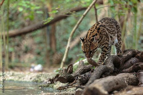 Fototapeta Leopardus pardalis. ocelot. gattopardo. Leopardus pardalis