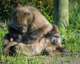A chacma baboon grooms another at Silvermine Nature Reserve, South Africa - 174879309