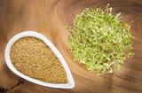 Sprouted alfalfa seeds - Medicago sativa - 174888324