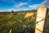 Cow Cattle in Farm - 174900117