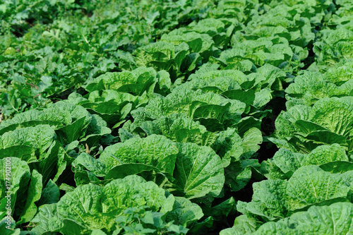 Fotobehang Groene chinese cabbage crops in growth at field