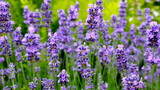 Lavendeltraum - 174903522