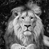 Beautiful portrait of Asiatic Lion Panthera Leo Persica in black and white - 174908173