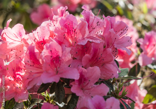 Fotobehang Azalea Azaleas in sprong bloom Kirribilli sydney 2017