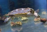 Морская черепаха - 174913505
