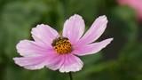 Bees In Flower Garden Cosmos (Cosmos Bipinnatus) - 174918762