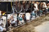 Kühe im Kuhstall - 174924371