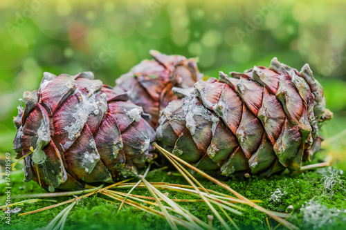 Foto op Aluminium Pistache Autumn landscape. Big ripe cones of the Siberian pine Pínus sibírica on green forest moss, closeup