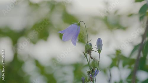Fotobehang Lelietjes van dalen Blue lily of the valley. Close up of Lily of the valley. May lily in beautiful colors