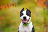american staffordshire terrier - 174932918
