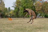 Belgian Shepherd on agility competition, jumping outdoor - 174942526