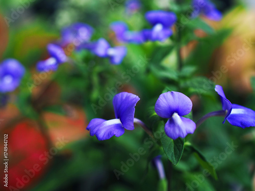 Fotobehang Iris Blue butterfly shape Papilionaceous blue white flower bouquet, with green leaf plant and red clay floor background, selective focus, close up perspective