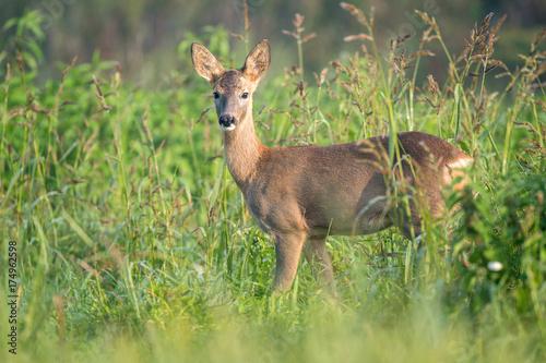 Fotobehang Hert Young roe deer in a field