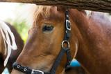Portrait of a pony close up - 174965796