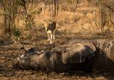Lion at a dead Elephant - 174969733