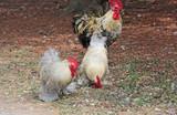 3 poules - 174970138