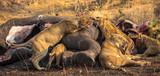 Lion Family eating an Elephant