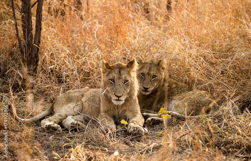 Aluminium Lion Lion Twins