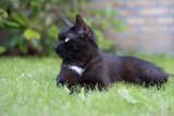Domestic black cat listening on the grass