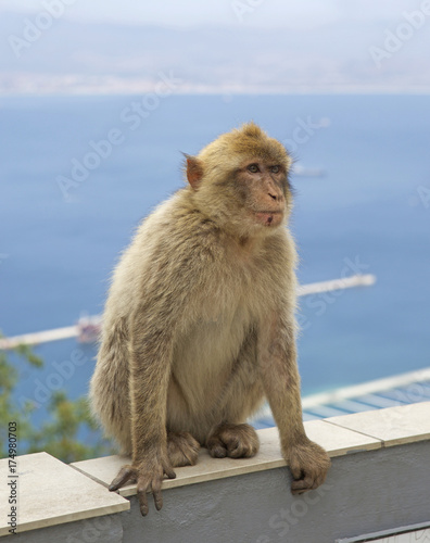 Fotobehang Aap Barbery Monkey sitting on a wall with a seascape background in Gibraltar