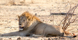 Old male lion resting on the dry plains in Etosha - 174981585