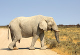 Large very dry skinned elephant walking across the very hot etosha plains with a bright blue sky - 174981786