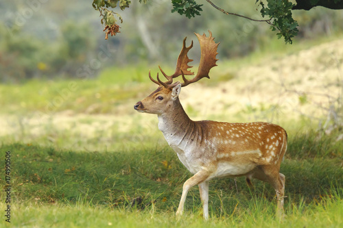 Big Fallow deer buck with large antlers walking in a forest