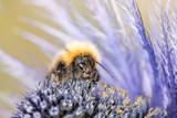 Bumblebee sitting on violet flower - 174991155
