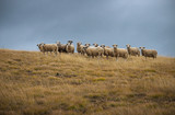Herd of sheep - 174993357
