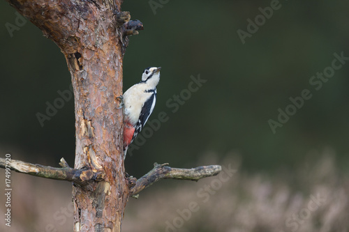 Female great spotted woodpecker Poster