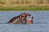 Hippopotamus Playing at Murchison Falls National Park in Uganda, Africa - 175005761