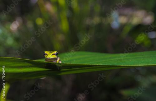 Fotobehang Kikker Miniature Frog