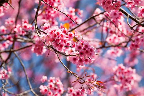 Aluminium Candy roze Cherry blossom in Khun Wang ChiangMai, Thailand.