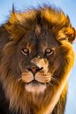 Lion Gaze 2 - 175013186