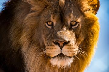 Lion Gaze 1