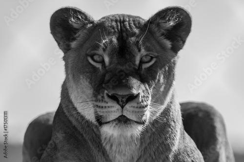 Aluminium Lion The Queen
