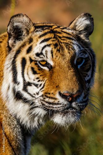 Tiger 4 Poster