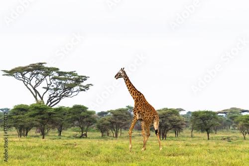 Fototapeta Maasai giraffe in savanna of Tarangire. Tanzania, Africa