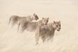 Quadro Etosha National Park Namibia, Africa wildlife lions