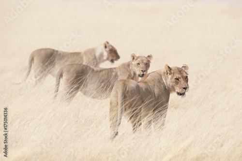 Etosha National Park Namibia, Africa wildlife lions