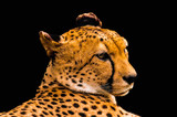 Portrait of a cheetah isolated on black - 175015357